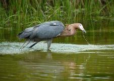 带红色白鹭渔在圣彼德堡中,佛罗里达海湾水域  库存图片