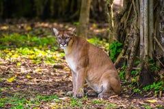 美洲野猫在密林 库存图片