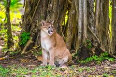 美洲野猫在密林 免版税库存照片