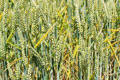 麦子,农业背景的绿色耳朵 免版税库存图片