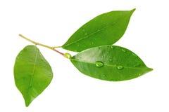 Φύλλα εσπεριδοειδών με τις πτώσεις που απομονώνονται σε ένα άσπρο υπόβαθρο Στοκ Φωτογραφία