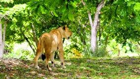 在四处寻觅的非洲狮子 库存图片