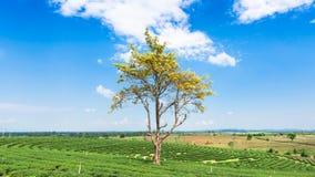 Большое дерево в плантации чая Стоковые Фотографии RF