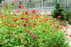 美丽五颜六色的百日菊属花在自然庭院公园 库存图片