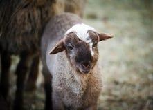 逗人喜爱的幼小小的羊羔 库存图片