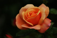 Апельсин Роза с дождевыми каплями Стоковое Изображение RF
