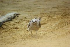 Ювенильная чайка сельдей от фронта Стоковая Фотография RF