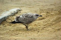 Ювенильная чайка сельдей от стороны Стоковая Фотография