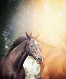 黑和棕色马在夏天或秋天自然背景的阳光下 免版税库存图片