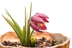 一个方格的黄水仙的花 免版税库存照片