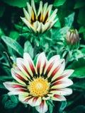 与红色静脉的美丽的明亮的黄色向日葵 库存照片