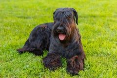 Порода гигантского шнауцера домашней собаки черная Стоковое Изображение RF