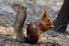 站立在草的红松鼠 免版税库存照片