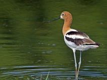 在繁殖的颜色的美国长嘴上弯的长脚鸟 库存图片