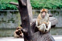 在结构树坐的猴子 免版税库存图片