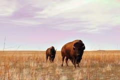 北美野牛凝视得下来 免版税库存图片