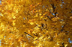 Αφηρημένο υπόβαθρο των κίτρινων φύλλων ενός δέντρου σφενδάμνου Στοκ φωτογραφία με δικαίωμα ελεύθερης χρήσης