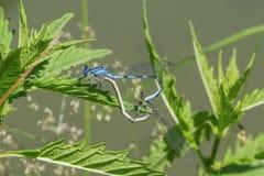 坐在草的联接的蜻蜓在池塘附近 库存照片