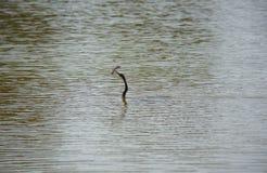 击倒一条鱼的美洲蛇鸟(蛇鸟、蛇鹈,突进者)在佛罗里达沼泽地 免版税图库摄影