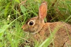 坐在草-特写镜头的野生布朗兔子 免版税库存照片