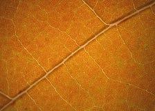在黄樟的静脉生叶,秋天,康涅狄格 库存图片