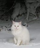 在雪的空白猫 免版税图库摄影