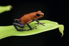红色草莓毒物箭青蛙哥斯达黎加 免版税库存图片