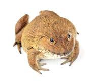 背景青蛙查出的白色 库存照片