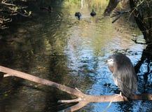 灰色苍鹭坐树分支  图库摄影