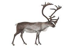 在白色隔绝的驯鹿 图库摄影