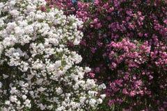 白色和桃红色牡丹花 库存照片