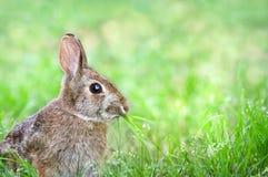 用力嚼草的逗人喜爱的棉尾兔小兔 库存图片