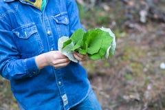 女孩采摘烘干的款冬叶子 免版税库存图片
