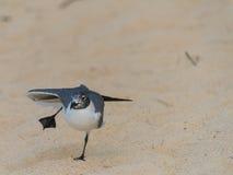 在沙子的可笑跳舞鸟 库存照片