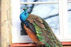 坐在窗口的孔雀 库存图片