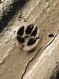在泥的动物爪子标记 库存照片