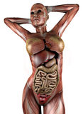 与骨骼肌和器官的女性身体 免版税库存照片