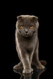 在黑镜子的英国折叠猫滑稽的立场 库存照片
