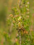 绿色蚂蚱垂直在石南花的在绽放 免版税库存照片