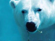 熊接近的工厂极性水中 免版税库存照片