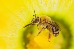 Пчела меда вполне цветня Стоковые Фотографии RF