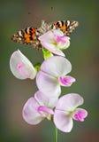 香豌豆花的被绘的夫人 库存图片