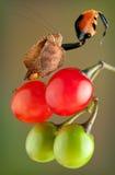 与被上升的爪的拳击手螳螂 图库摄影