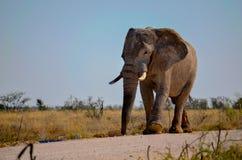 步行沿着向下路的大象 免版税库存照片