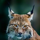 Сибирский рысь Стоковое фото RF