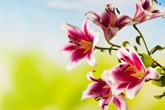 Красные белые лилии, цветения, космос экземпляра Стоковая Фотография RF