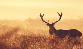 Большой силуэт рогача красных оленей Стоковые Фото