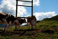 Коровы на горной вершине Стоковые Изображения RF