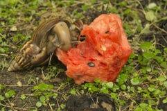 蜗牛子弹缓慢的草特写镜头自然地面概念 图库摄影