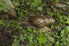 蜗牛子弹缓慢的草特写镜头自然地面概念 免版税库存照片